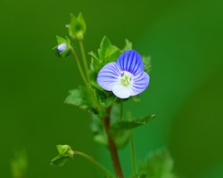 resized-speedwell-329542_1920
